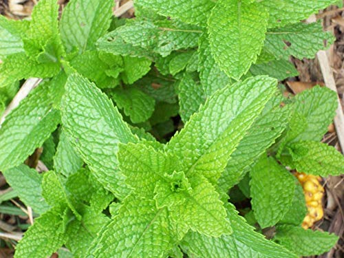 Spearmint Seeds Pick Size to 1OZ Bulk Herb Spear Mint Easy Grow #320 (800 Seeds)