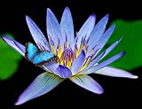 Amazing Live Aquatic Plant Water Lily Tuber For Fresh Water Pond by Jayco Nymphaea Geena Blue Tropical W028 by Jayco ** Buy 2 GET 1 FREE