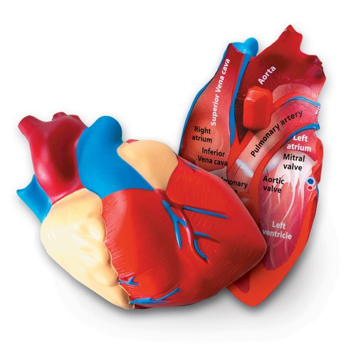 Learning Resources Cross-Section Human Heart Model (Best Anatomical Heart Model)
