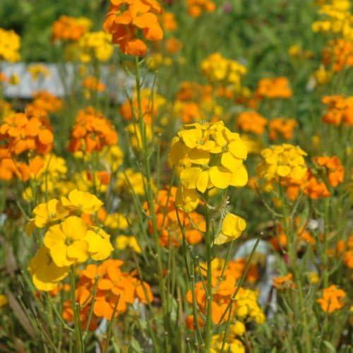 Más de 240 semillas de semillas INGLÉS Wallflower mariposas Semillas de Herencia POCO Perenne