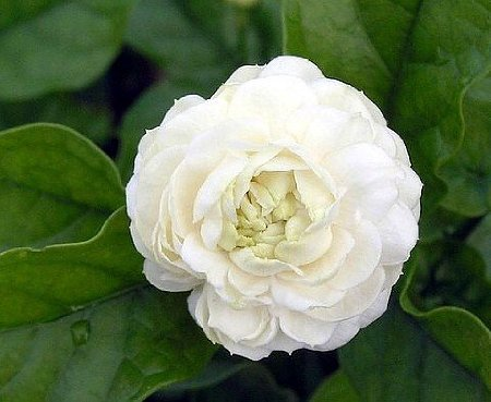 Arabian Jasmine Plant''Grand Duke of Tuscany'' - Fragrant Plant - 6'' Pot by Thai Greenhouse (Image #1)