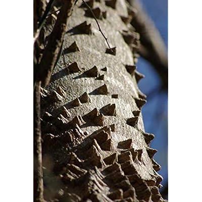 Cheap Fresh Toothache Tree Seeds Zanthoxylum Clava Herculis Get 5 Seeds Easy Grow #GRG01YN : Garden & Outdoor