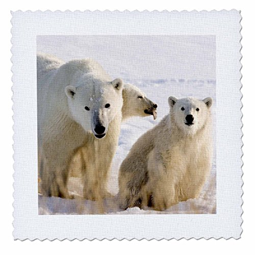 3dRose qs_70246_1 Canada, Manitoba, Hudson Bay, Churchill Polar Bears-CN03 BJA0033-Janyes Gallery-Quilt Square, 10 by 10-Inch