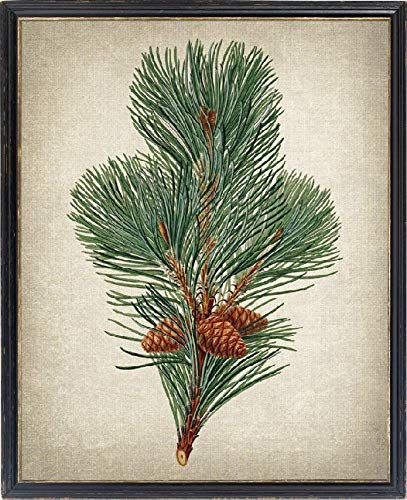 TimPrint Botanical Print Pinus Pumilio Mountain Pine Vintage Illustration Evergreen Plant Pinecones Wall Art Framed Print Wall Art