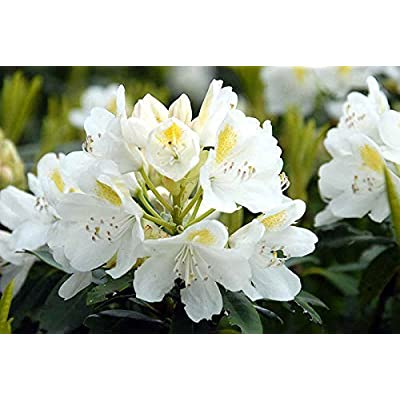 Rhododendron catawbiense Alba WHITE CATAWBA RHODODENDRON Seeds! : Garden & Outdoor