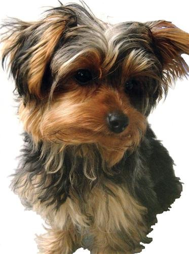 YORKSHIRE TERRIER GLOSSY POSTER PICTURE PHOTO yorkie dog puppy puppies toy