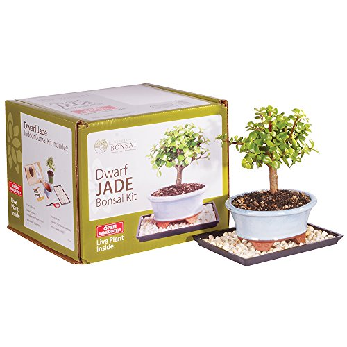 Brussel's Dwarf Jade Bonsai Kit (Plants South Africa Patio)