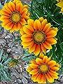 Go Garden 25 Orange Yellow Daisy Seeds Osteospermum Flower African Exotic Garden Bi Color