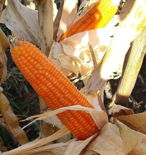 Grow Popcorn (Orange Popcorn - Grow you own popcorn - Ornamental - Vegetable Seeds (50))
