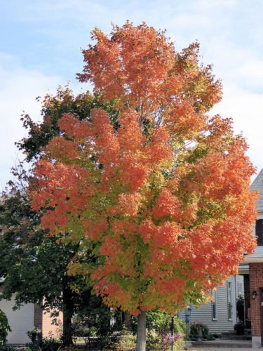 Autumn Blaze Maple- 4-5' Bare Root Plant