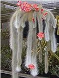 Hildewintera Cleistocactus Colademononis Monkey's Tail Cactus Bonsai 120 Seeds