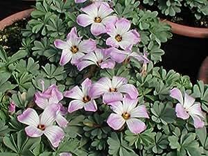 5 x Oxalis adenophylla bulbs (Silver shamrock)