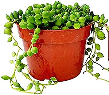 Fat Plants San Diego Succulent Plant(s) Trailing Succulent Collection Fully Rooted in 4 inch Planter Pots with Soil (1, Pearls)