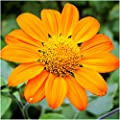 Package of 100 Seeds, Mexican Sunflower (Tithonia rotundifolia) Non-GMO Seeds By Seed Needs