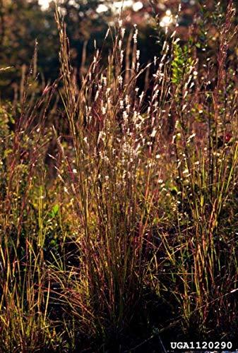 1 oz Seeds (Approx 17025 Seeds) of Andropogon ternarius, Splitbeard Bluestem, Paintbrush Bluestem