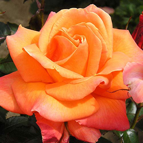 Mamma MIA - Bareroot Hybrid Tea Garden Rose Bush - Stunning Fragrant, Deep Orange Blooms - A Great Gift for ABBA Fans and Mums!