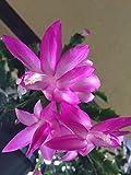 2 Succulent Plant Cuttings / Christmas Cactus 'Schlumbergera' / Pink Flowers