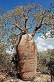 10 Seeds Adansonia fony (= Adansonia rubrostipa) Fony Baobab