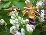 Vigna Corkscrew Vine Seeds Beautiful Flowering Vine Fragrant 15 Seeds