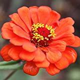 Zinnia Flower Garden Seeds - Profusion Series - Double Fire - 500 Seeds - Annual Flower Gardening Seed - Zinnia hybrida