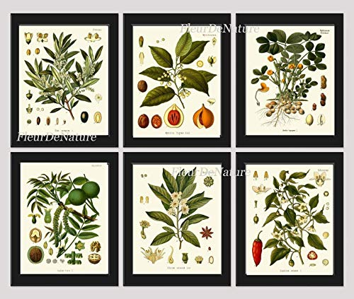 Herbs and Spices Botanical Set of 6 Prints Antique Beautiful Italian Olives Nutmeg Peanuts Walnut Anise Sweet and Chili Red Pepper Home Room Decor Wall Art Unframed KOH from LoveThePrint