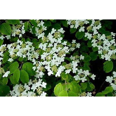 Toyensnow - Blushing Viburnum foetidum VAR rectangulatum Shrub Bonsai or Standard (5 Seeds) : Garden & Outdoor [5Bkhe0801224]