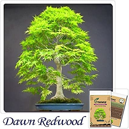 Amazon Com Mayan Seeds Llc Bonsai Seeds 50pcs Dawn Redwood Bonsai Tree Grove Metasequoia Glyptostroboides Diy Home Gardening Very Easy To Grow Garden Outdoor