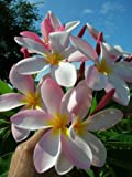 Plumeria rubra- (Pink White Yellow Flower) No Root Cutting