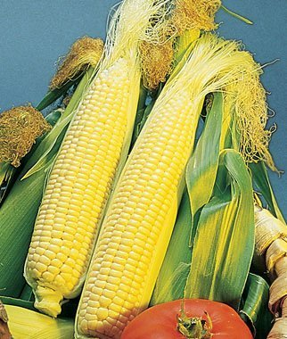David's Garden Seeds Corn Sweet Golden Bantam D41105A (Yellow) 50 Organic Heirloom Seeds