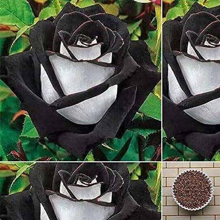 400 PCS*Amazing Rose Seeds China Rare Black With White Rose Flower Seeds