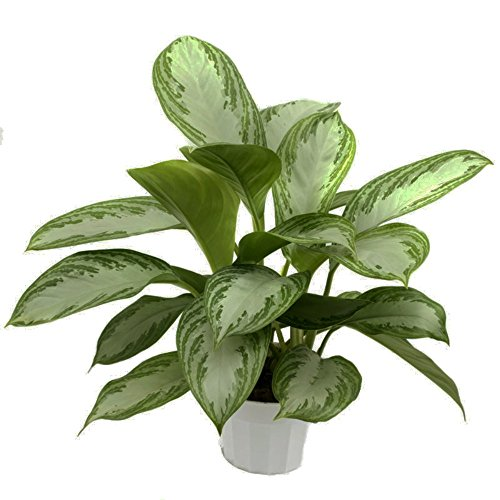 Evergreen Chinese Plant (Silver Bay Chinese Evergreen Plant - Aglaonema - Low Light - 4