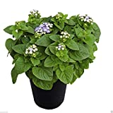 Aloha Blue dwarf Ageratum-PELLET Seeds,Floss Flower,Early Variety. 30 seed
