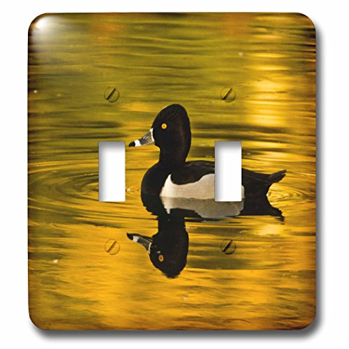 3dRose Danita Delimont - Ducks - Male ring-necked duck, swimming, Dawson Creek Park, Hillsboro, Oregon - Light Switch Covers - double toggle switch - Outlets Hillsboro