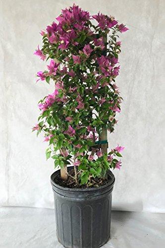 Assorted Bougainvillea Plant (flowers, hanging basket, bush, trellis, patio tree, vine) (5 Gal Trellis) by Root 98 Warehouse (Image #4)
