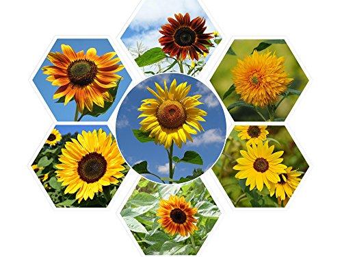 100 Super Nova Sunflower Mix Seeds - 7 Different Types of Sunflower - by RDR - Of Types Different Shades
