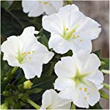 Package of 60 Seeds, White Four O' Clock (Mirabilis jalapa) Seeds By Seed Needs