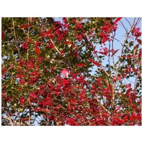 - Winterberry Holly 'Southern Gentleman'