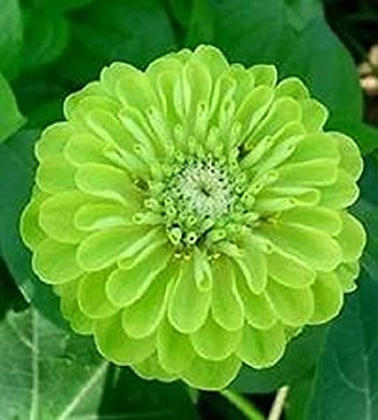 amazon com 30 lime green envy zinnia flower seeds flowering