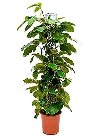 Zimmerpflanze Pflegeleicht kastanienwein 90 115 cm im 24 cm topf pflegeleichte zimmerpflanze