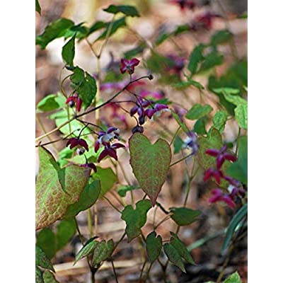 Perennial Farm Marketplace Epimedium rubrum (Barrenwort) Perennial, 1 Quart, Red Starry Flowers : Garden & Outdoor