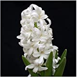 New Rare White Hyacinth Balcony Plant Hyacinthus Orientalis Flower Potted Plants Home garden 50+ Seeds