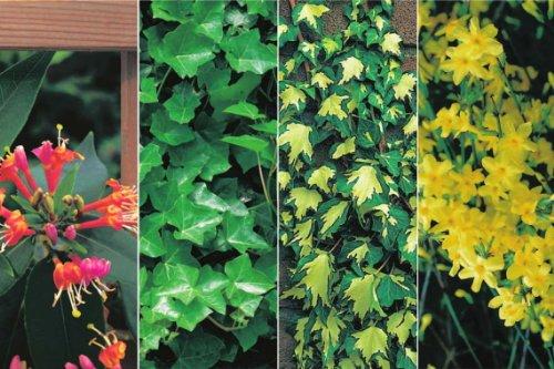 4 immergrüne Kletterpflanzen für Balkon, Pergola, Rankgitter usw. (Efeu, Jasmin)