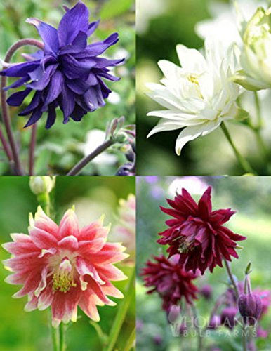 Barlow Mix Columbine 40 Seed-Aquilegia- Shade Perennial by Hirt's Gardens