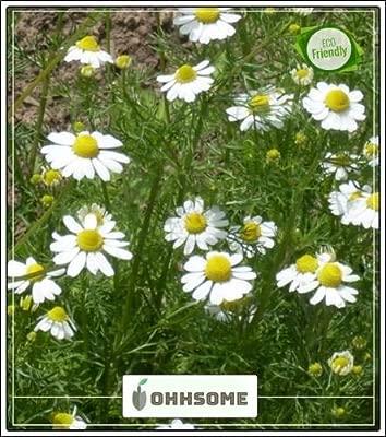 Seedsown jardín de Hierbas - Matricaria Chamomilla un huerto ...