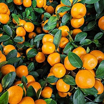 JingYu 100Pcs Orange Tree Seeds, Delicious and Juicy Fruit Seeds Suitable for Planting Garden Home Bonsai Dwarf Plant Orange Seeds# : Garden & Outdoor