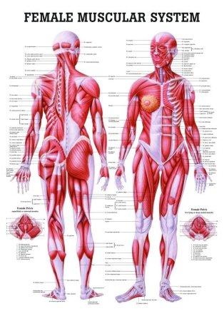 Anatomical Worldwide CH35 The Female Muscular System Laminated Anatomy Chart