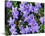 Wall Art Print entitled Pipers Bell Flower In Bloom (Campanula Piperi) by Panoramic Images