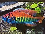 "Red Makobe African Cichlid 2"" - Live Tropical Aquarium Fish"