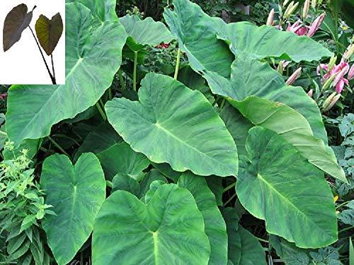 10 Starter Plants of Colocasia Nancys Revenge Elephant Ear Plant by Andryani (Image #2)