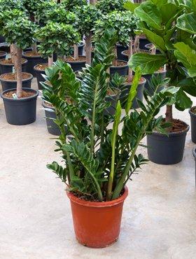 Glucksfeder Zamioculcas Zamiifolia Ca 100 Cm Pflegeleichte